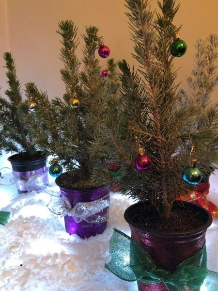 Mini XMAS Trees for sale